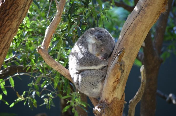10 Awesome Things to Do in Sydney, Australia - Koala Bear, Taronga Zoo